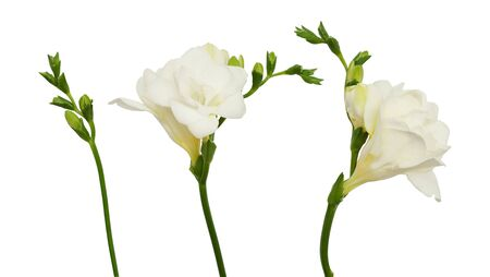 Set of freesia flowers and buds isolated on white