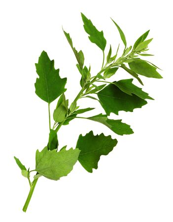 Green leaves of Chenopodium album isolated on white