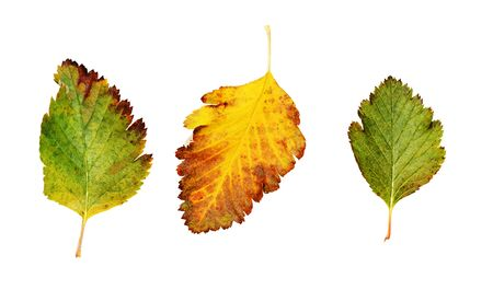 Set of yellow and green autumn leaves isolated on white 版權商用圖片