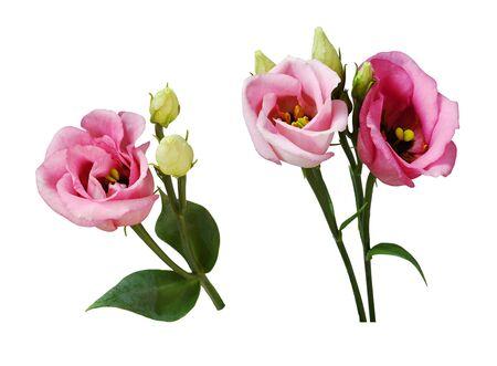 Set of pink eustoma flowers isolated on white