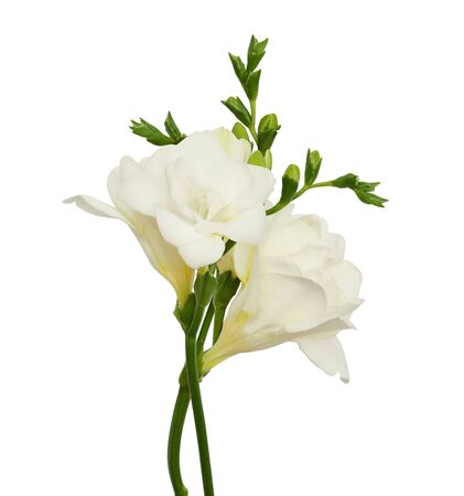 Bouquet of freesia flowers and buds isolated on white Stock Photo