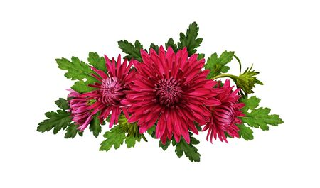 Purple chrysanthemum flowers in a line arrangement isolated on white background. Top view. Flat lay. Фото со стока