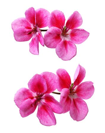 Set of pink geranium flowers isolated on white 版權商用圖片