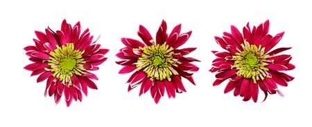 Set of  pink and green chrysanthemum flowers isolated on white Stock Photo