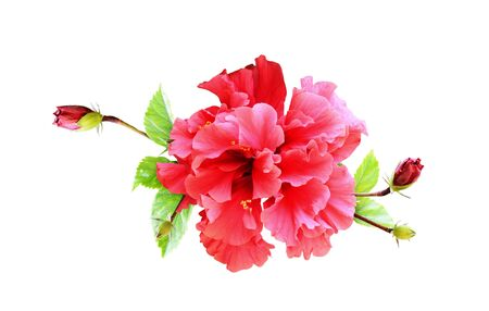 Hibiscus flower in tropical arrangement isolated on white Фото со стока