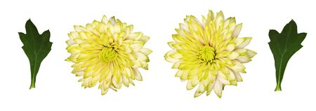 Set of chrisanthemum flowers and leaves isolated on a white Stock Photo