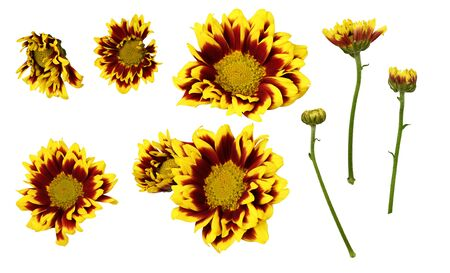 Set of yellow and red chrysanthemum flowers and buds isolated on white