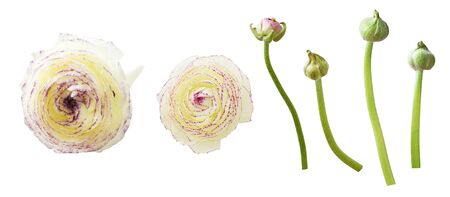 Set of ranunculus flowers and buds isolated on white Stock Photo