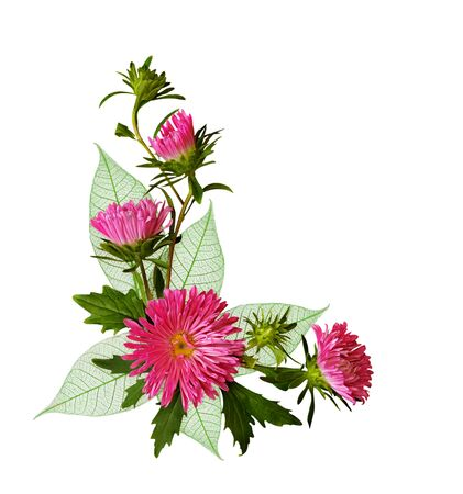 Aster flowers and green leaves in an autumn corner composition isolated on white