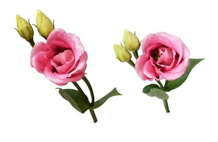 Set of pink eustoma flowers and buds isolated on white