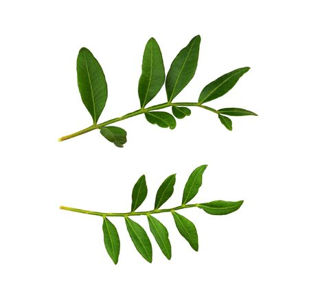 Set of twigs with green leaves isolated on white 版權商用圖片
