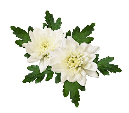 Chrisanthemum flowers and leaves in a floral arrangement isolated on a white Stock Photo