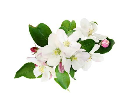 Flowers and leaves of apple tree isolated on white Stock Photo