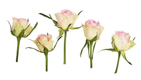 Set of rose flowers isolated on white. Profile view.