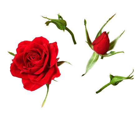 Sey of red rose flower and buds isolated on white Stock Photo