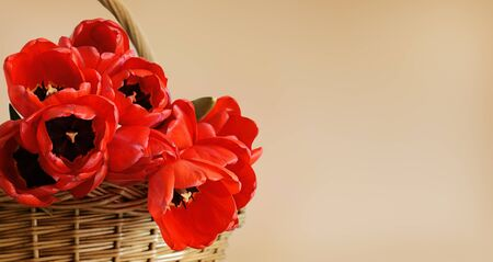 Red tulip flowers in a basket on soft beige background