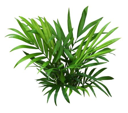 Green leaves of chameadorea palm isolated on white