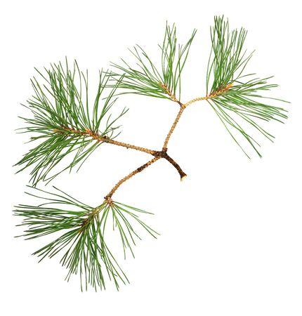 Primo piano di ramoscelli di pino isolati su bianco Archivio Fotografico