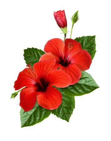 Red hibiscus flowers, buds and green leaves in a tropikal floral arrangement isolated on white