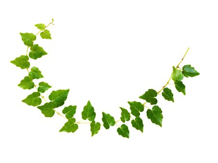 Closeup of waved ivy twig with small green leaves isolated on white Stock Photo