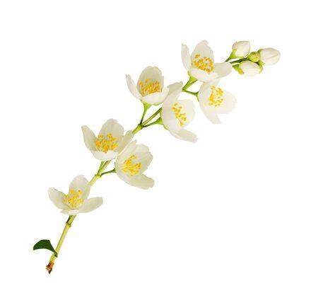 Twig of Jasmine flowers isolated on white