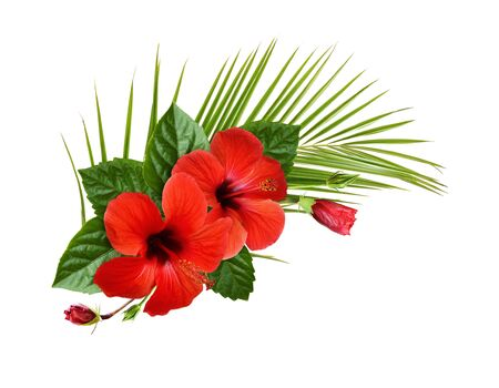 Red hibiscus flowers, buds and green leaves in a tropical corner arrangement isolated on white