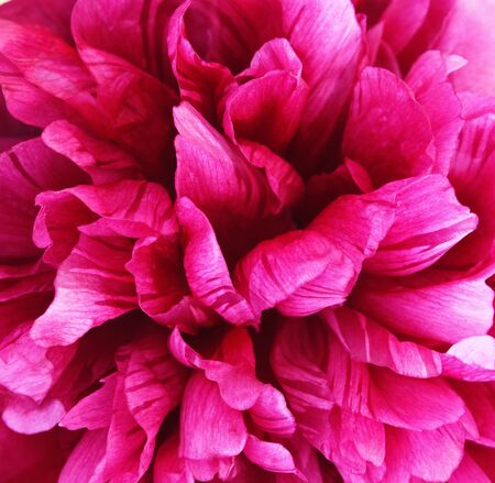 Closeup of pink peony flower for background