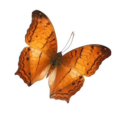 The Criser (Vagrans erota) butterfly isolated on white