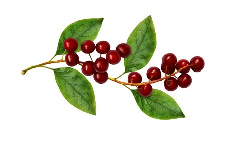 Red bird-cherries with leaves isolated on white Archivio Fotografico