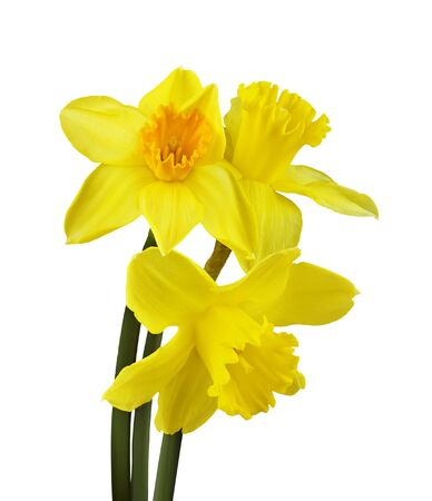 Yellow narcissus flowers in a bouquet isolated on white.