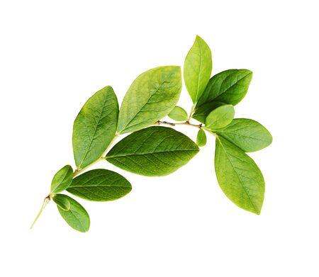 Feuilles vertes de myrtille isolées sur blanc Banque d'images