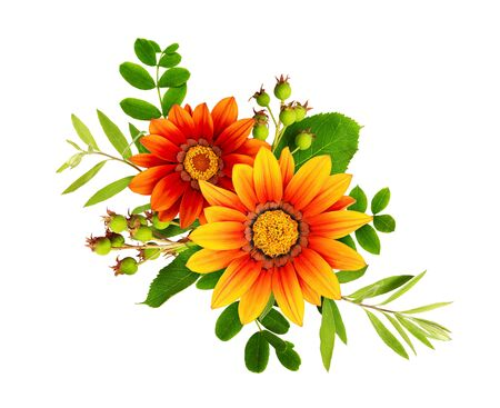 Gazania flowers and green leaves and berries in a floral composition isolated on white Banque d'images