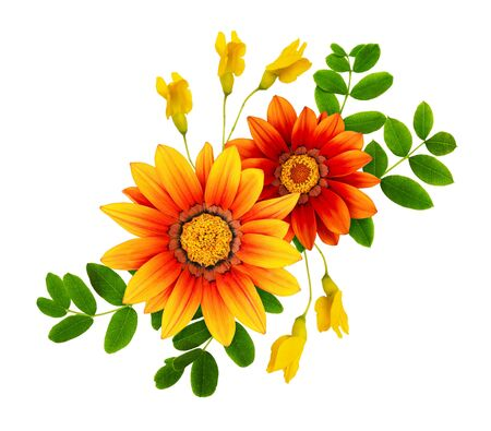 Gazania and acacia flowers and leaves in a floral composition isolated on white