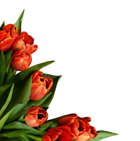 Red tulip flowers in a corner arrangement isolated on white background Banque d'images