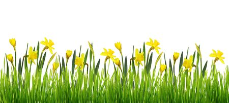 Spring border with fresh green grass and yellow narcissus flowers isolated on white background