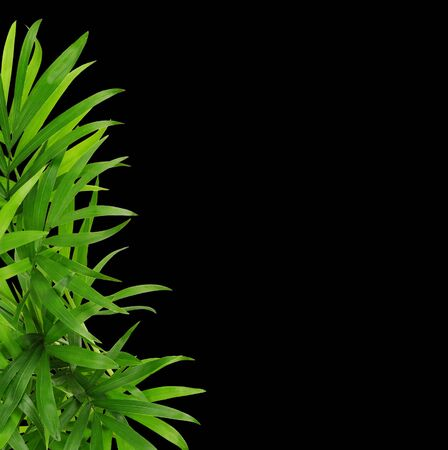 Green leaves of chameadorea palm in a corner decoration isolated on black background