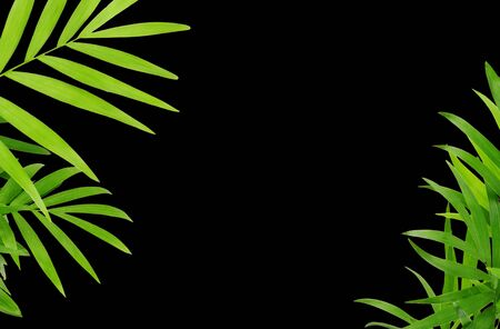 Green leaves of chameadorea palm in a corners decoration isolated on black background