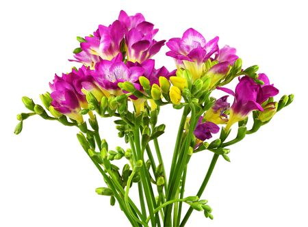 Pink and yellow freesia flowers in a bouquet isolated on white