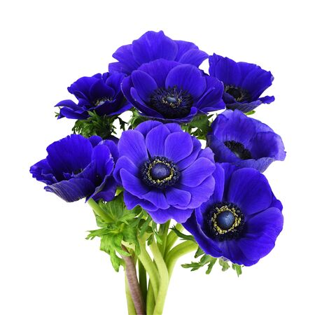 Bouquet of blue anemome flowers isolated on white Фото со стока