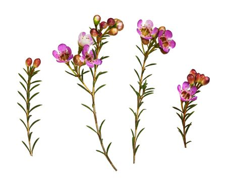 Set of pink chamelaucium flowers isolated on white Фото со стока