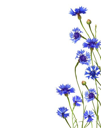 Blue knapweed flowers and buds in a floral border isolated on white background