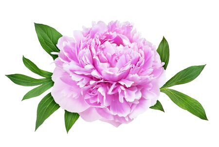 Pink peony flower and green leaves isolated on white Foto de archivo