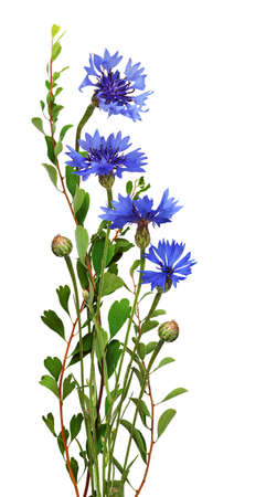 Blue knapweed flowers and green twigs in a small bouquet isolated on white. Profile view.