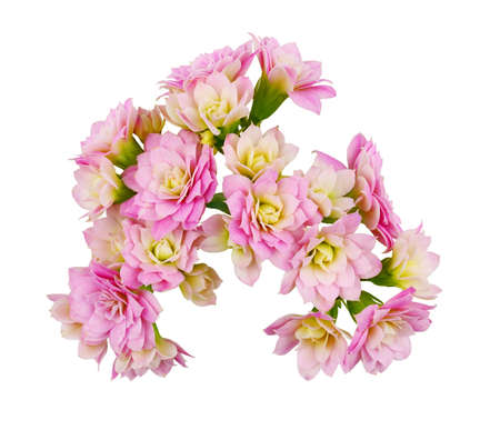 Pink calanchoe flowers isolated on white