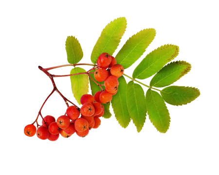 Red autumn rowanberries and leaves isolated on white Banque d'images