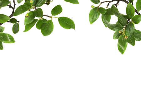 Twigs with green leaves and berries in nature top frame isolated on white background