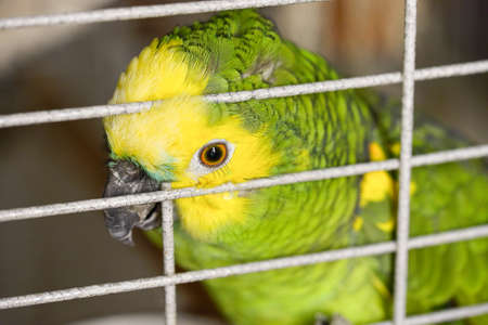 home amazon green feathers sitting on a branch in a cage wants to be stroked, pressed against the cage