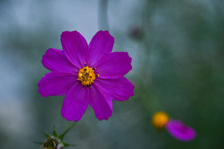 garden cosmos bipinnatus Beautiful purple Cosmos flower in the garden. Violet flowers pictures. Cosmos bipinnatus, commonly called the garden cosmos or Mexican aster.