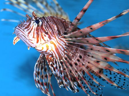 pterois volitans: pterois volitans      Stock Photo