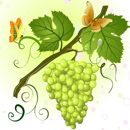 grape crop: branch of green grapes Illustration